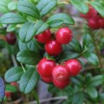 The Red Whortleberry